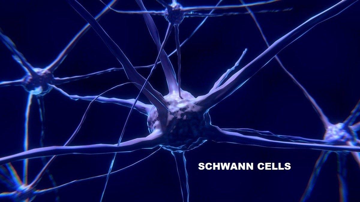 SCHWANN CELL